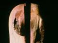 Old Log, Maple, Steel, 100 x 60 x 56 cm, 2000